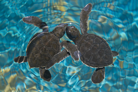 Baby sea turtles in water photo