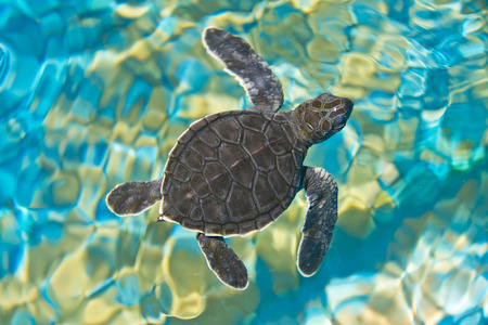 baby turtle: Top view of baby turtle