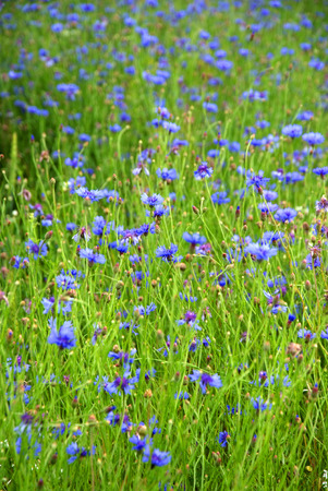 green field with blue cornflowers photo
