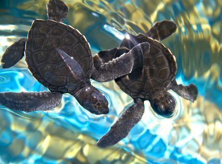 two baby sea turtles swimming in water photo