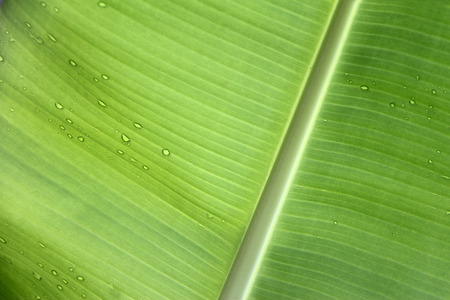 Banana leaf background with water drops photo