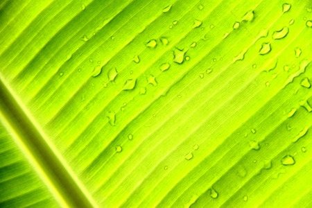 Bright banana leaf with water drops photo