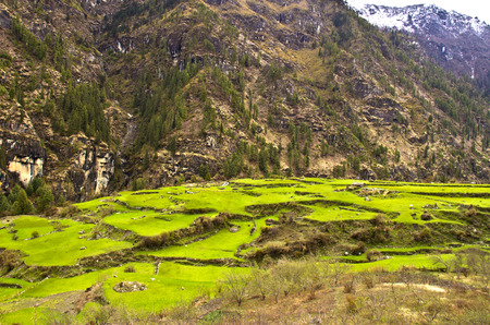 himalayas: Green terraced rice fields in the Himalayas
