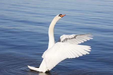 mute swan: Closeup photo of an aggressive swan standing in the water and and waving its wings.