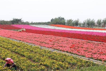 flower fields: flower fields