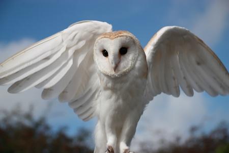 sowa: Barn Owl ze skrzydłami rozpostartymi
