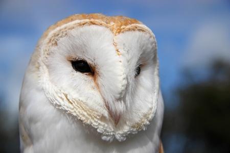 Close up of Barn Owl,  (Tyto Alba) Stock Photo
