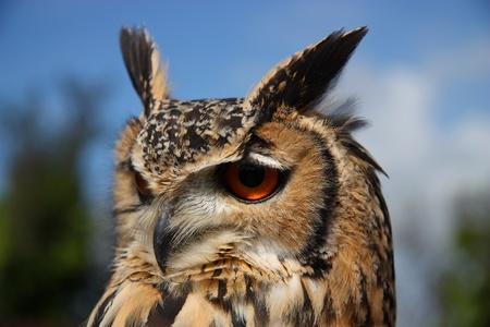 Eurasian Eagle Owl (B. Bubo)