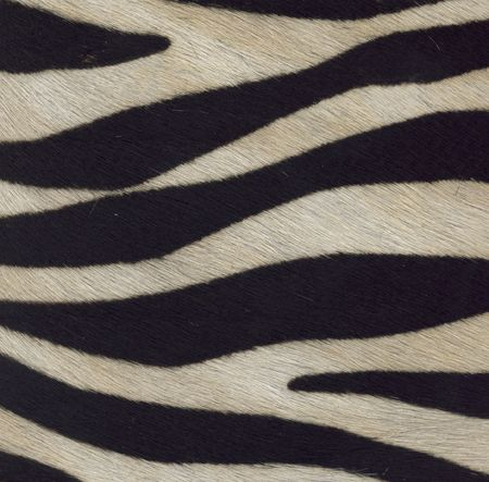 zebra texture Stock Photo
