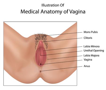 uretra: Anatom�a de Medicina de la vagina