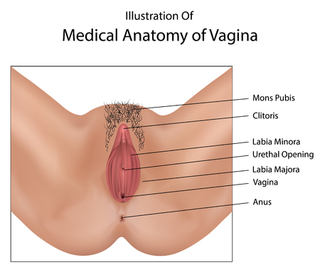 Medical anatomy of vagina