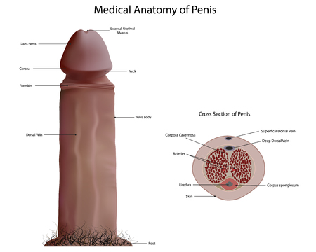 pene: Anatomía de Medicina de pene Vectores