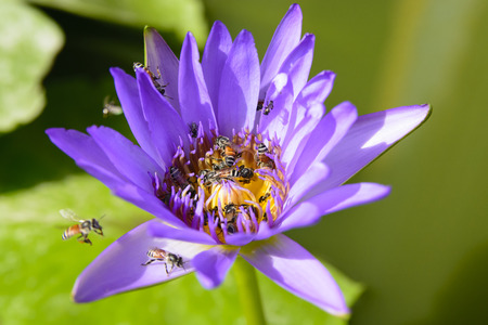 bee swarm: bee swarm in water lily, lotus in nature