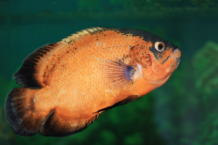 Oscar fish Stock Photo - 22035692