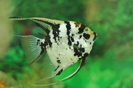 Angel Fish Stock Photo - 27898860