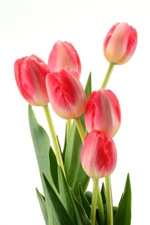 holand: Tulips on white background. Tulipa