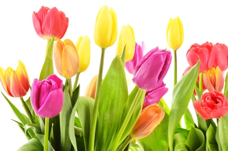 Bouquet of tulips on white background  Tulipa Stock Photo - 19352541