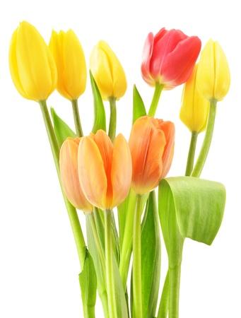 lila: Bouquet of tulips on white background  Tulipa