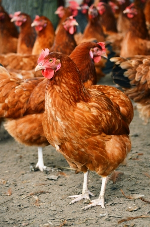 hens: Traditional free range poultry farming Stock Photo