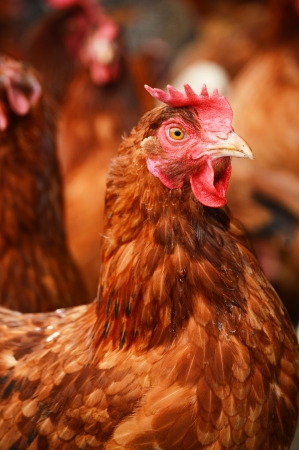 egg laying: Traditional free range poultry farming Stock Photo