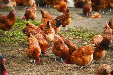 coop: Traditional free range poultry farming Stock Photo