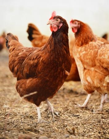 gallina con huevos: Avicultura Granja al aire libre