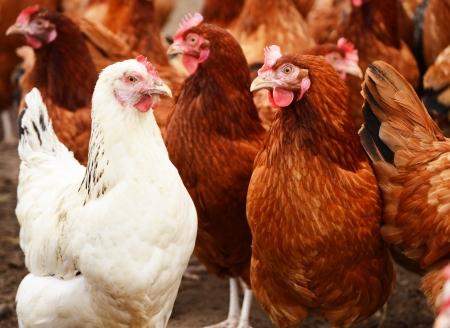 伝統的な放し飼い養鶏 写真素材 - 21611365