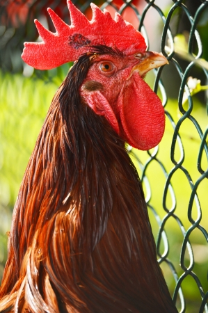 poultry farm: Rooster on traditional free range poultry farm