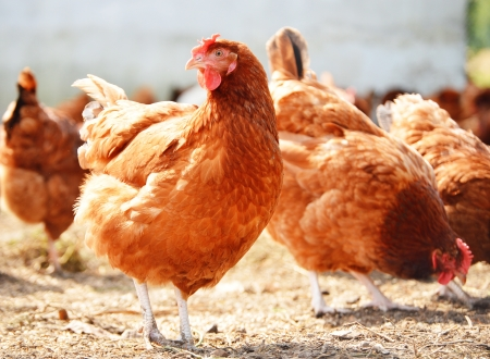 Chickens on traditional free range poultry farm Standard-Bild