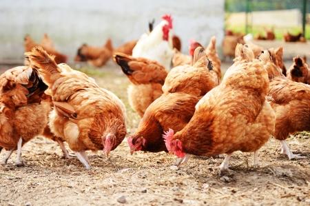 伝統的なフリーレンジ家禽農場で鶏
