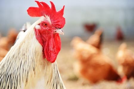 granja avicola: Gallo en tradicional granja avícola gama libre
