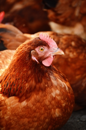 egg laying: Chickens on traditional free range poultry farm Stock Photo