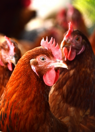 coop: Chickens on traditional free range poultry farm Stock Photo