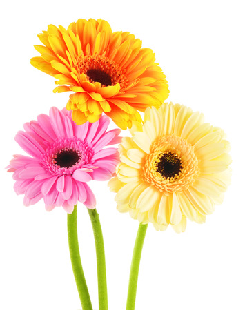 gerber: Composition with three gerberas isolated on white background