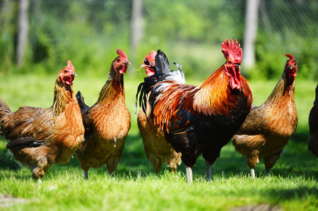 Chickens on traditional free range poultry farm Stock Photo