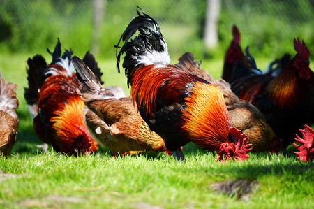 Chickens on traditional free range poultry farm photo