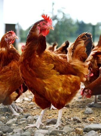 granja avicola: Pollos en granja avícola tradicional gama libre