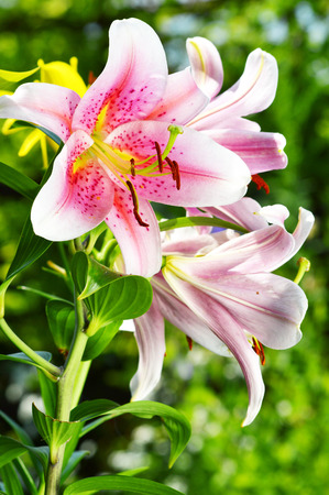 lilia: Blooming Lilium in the garden Stock Photo