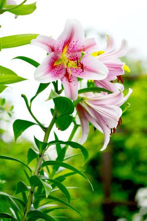 lilia: Blooming Lilium en el jard�n
