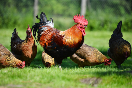 Rooster and chickens on traditional free range poultry farm. Stockfoto