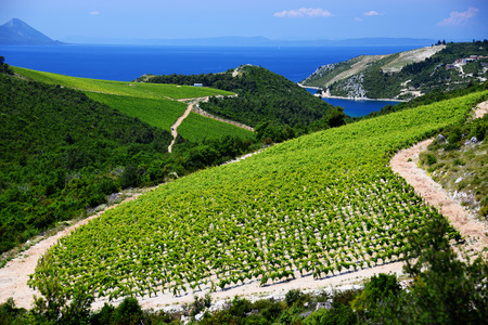 Vineyard in Dalmatia, Croatia, at the Adriatic coast.