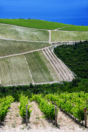 croatia: Vineyard in Dalmatia, Croatia, at the Adriatic coast.