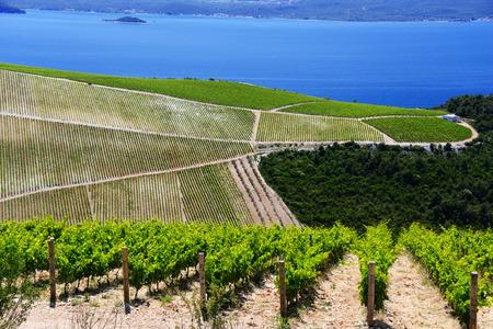 dalmatia: Vineyard in Dalmatia, Croatia, at the Adriatic coast.