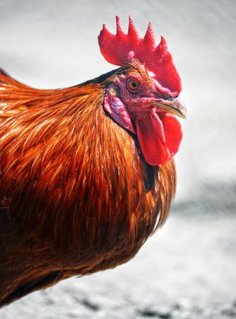aves de corral: Gallo en tradicional granja avícola libre de la gama. Foto de archivo