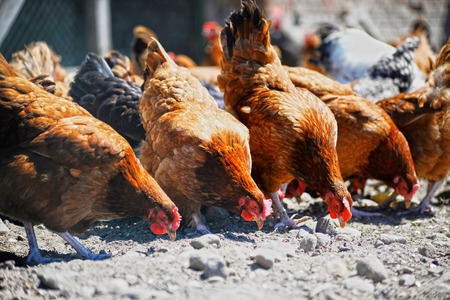 egg laying: Chickens on traditional free range poultry farm.