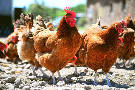 poultry farm: Chickens on traditional free range poultry farm.