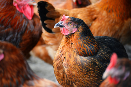 Chickens on free range poultry farms Stockfoto