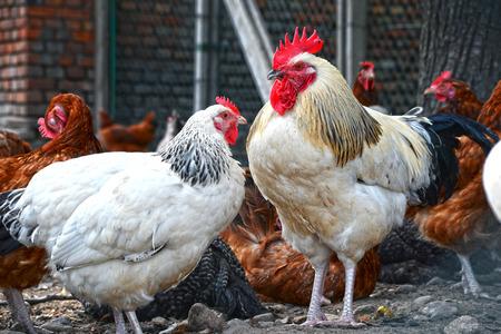 domestico: Pollos en la tradicional granja avícola Granja al aire libre. Foto de archivo
