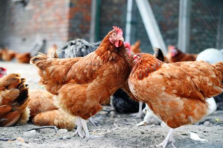 granja avicola: Pollos en la tradicional granja av�cola Granja al aire libre. Foto de archivo
