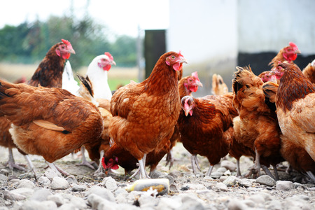 granja avicola: Chickens on traditional free range poultry farm.